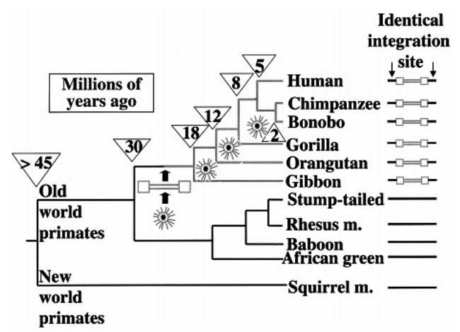 Рис. 3. Дивергенция видов приматов.